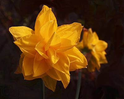 Photograph - Narcissus Sweet Sue In Full Bloom by Rona Black