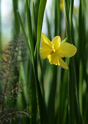 Photograph - Narcissus Tripartite With Bronze Fennel by Rebecca Sherman