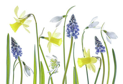 Photograph - Narcissus,snowdrops And Muscari Flowers by Mandy Disher Photography