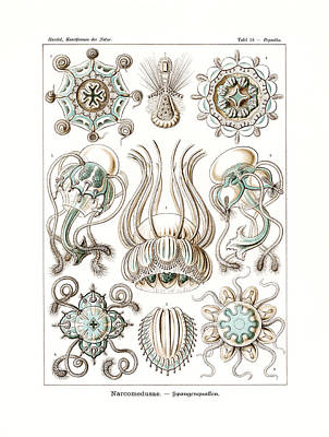 Art In Nature Drawing - Narcomedusae by Ernst Haeckel