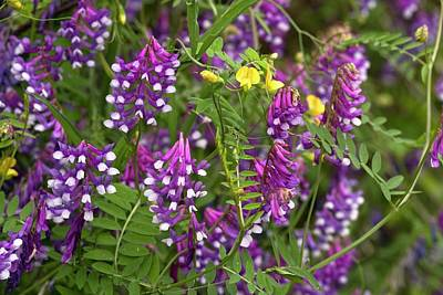Vetch Photograph - Narrow-leaved Vetch (vicia Tenuifolia) by Bob Gibbons