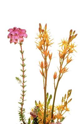 Bog Wall Art - Photograph - Narthecium Ossifragum And Erica Tetralix by Duncan Shaw/science Photo Library
