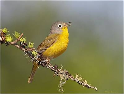 Warbler Digital Art - Nashville Warbler On Lichen Branch by Daniel Behm