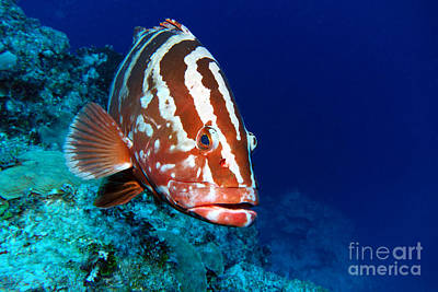 Reptiles Royalty-Free and Rights-Managed Images - Nassau Grouper by Carey Chen