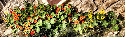Photograph - Nasturtium Against The Wall by Weston Westmoreland
