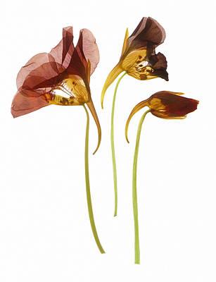 Nasturtium Flowers Art Print