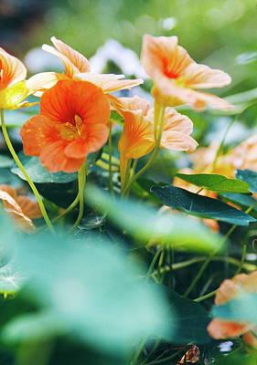 Nasturtium Flowers (tropaeolum Majus) Art Print