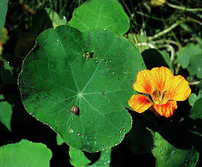 Nasturtium Leaf And Flower Art Print