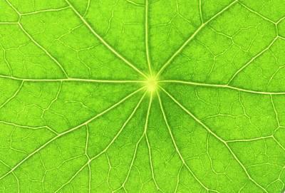 Nasturtium Leaf Art Print