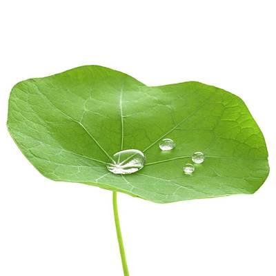 Nasturtium Leaf With Water Droplets Art Print