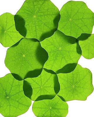 Nasturtium Leaves Art Print