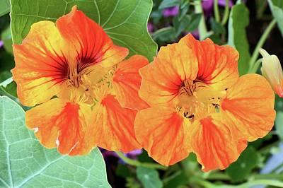Nasturtium (tropaeolum Majus) Flowers Art Print
