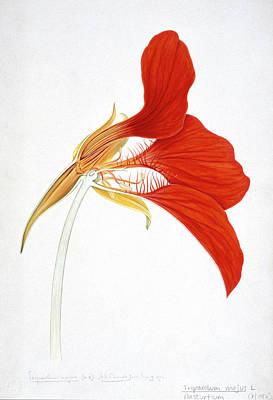 Nasturtium (tropaeolum Majus) Art Print