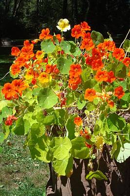 Photograph - Nasturtiums by Susan Woodward