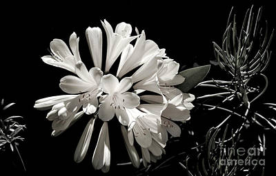 Photograph - Natal Lily In Black And White by Julie Palencia