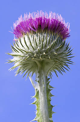 Photograph - National Flower Of Scotland by Ross G Strachan