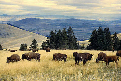 Wildlife Wall Art - Photograph - National Parks Bison Herd by Adam Shaw