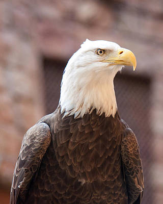 Photograph - American Bald Eagle by John Black
