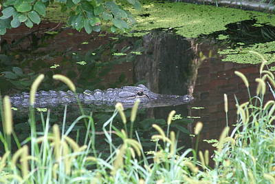 National Zoo - Alligator - 12121 Print by DC Photographer