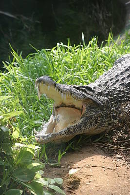 Gator Photograph - National Zoo - Alligator - 12123 by DC Photographer