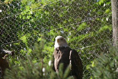 National Zoo - Bald Eagle - 12121 Art Print by DC Photographer