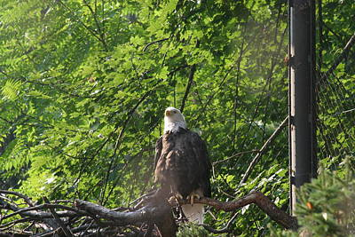 Eagle Photograph - National Zoo - Bald Eagle - 12122 by DC Photographer