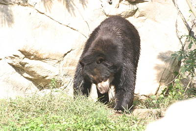 Bear Photograph - National Zoo - Bear - 12122 by DC Photographer