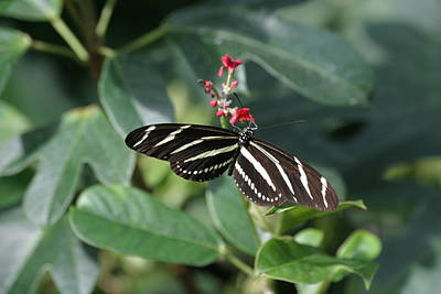National Zoo - Butterfly - 12121 Art Print by DC Photographer
