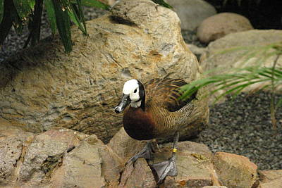 National Zoo - Duck - 121212 Art Print by DC Photographer