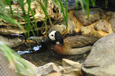 National Zoo - Duck - 121213 Print by DC Photographer