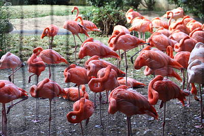 Flamingoes Photograph - National Zoo - Flamingo - 01131 by DC Photographer
