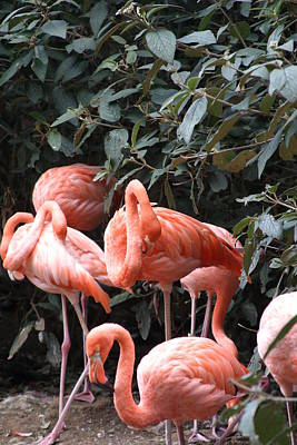 Flamingoes Photograph - National Zoo - Flamingo - 12124 by DC Photographer