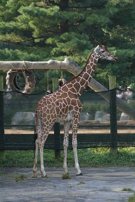 Giraffe Photograph - National Zoo - Giraffe - 12121 by DC Photographer