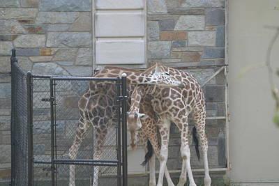 Animal Photograph - National Zoo - Giraffe - 12122 by DC Photographer