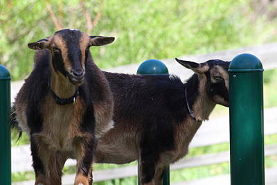 Goat Photograph - National Zoo - Goat - 01131 by DC Photographer