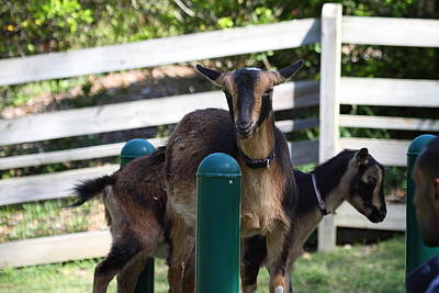 National Photograph - National Zoo - Goat - 01133 by DC Photographer