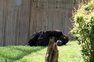 National Zoo - Gorilla - 011314 Art Print