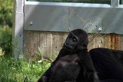 Zoos Photograph - National Zoo - Gorilla - 011335 by DC Photographer