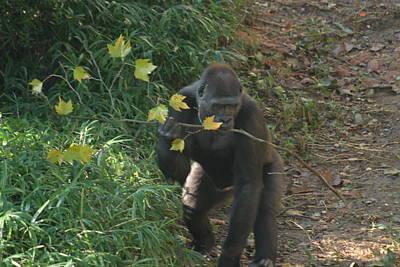 Gorilla Photograph - National Zoo - Gorilla - 121215 by DC Photographer