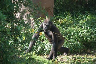 National Zoo - Gorilla - 121220 Art Print by DC Photographer