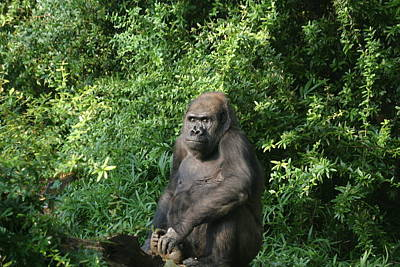 Dc Photograph - National Zoo - Gorilla - 121225 by DC Photographer