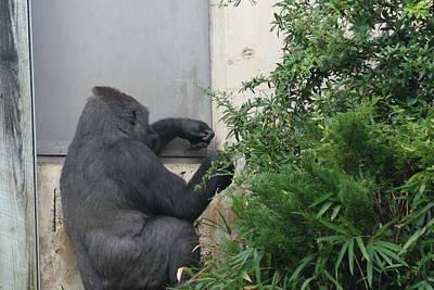 National Zoo - Gorilla - 121240 Art Print by DC Photographer