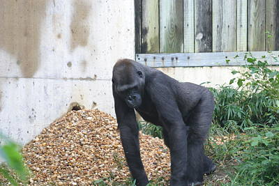 National Zoo - Gorilla - 121242 Art Print by DC Photographer