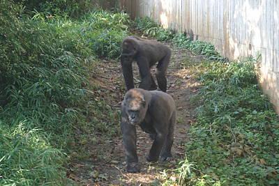 Gorilla Photograph - National Zoo - Gorilla - 12125 by DC Photographer