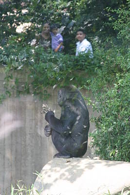 National Zoo - Gorilla - 121261 Art Print by DC Photographer