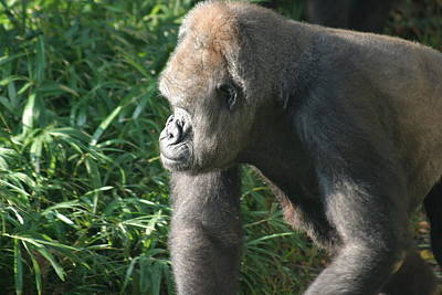 National Zoo - Gorilla - 12129 Art Print by DC Photographer