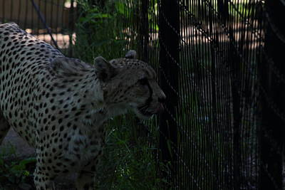 National Zoo - Leopard - 011314 Art Print