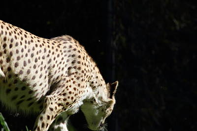 Cat Photograph - National Zoo - Leopard - 011317 by DC Photographer