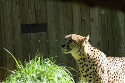 Bigcat Photograph - National Zoo - Leopard - 011320 by DC Photographer