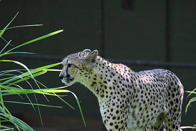 National Zoo - Leopard - 011322 Art Print by DC Photographer